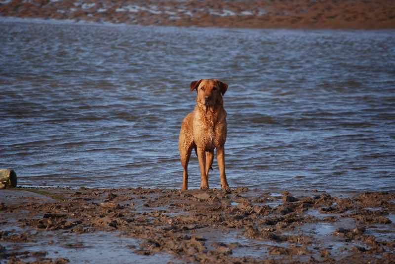 Bonzo @bonzosworld Instagram Domestic Animals Dog One Animal Water Animal Themes Pets Mammal Beach Sea Shore Sand Brown Outdoors Wet Nature No People Motion Day Carrying In Mouth Beauty In Nature Red Lab Labrador Retriever Labrador Retriever Lab