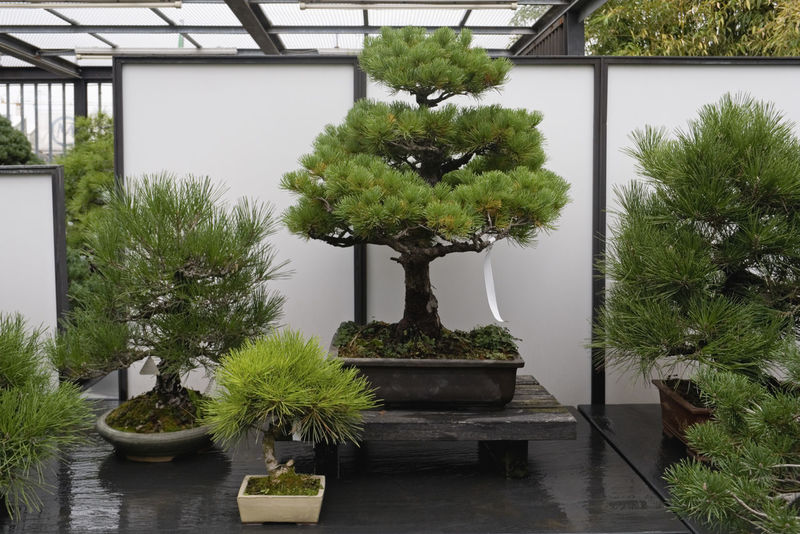 display of bonsai trees in a shop Assortment Bonsai Display For Sale Garden Center Horizontal Indoors  Interior Miniature No People Plants Shop Tree