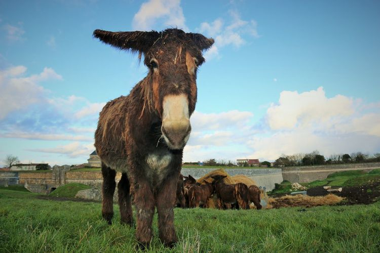 Low angle view of donkey on grassy field against cloudy sky