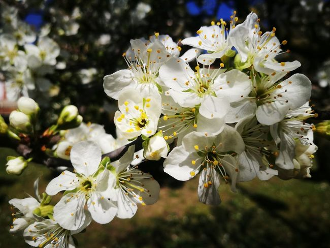 Spring Spring Flowers Flower Head Flower Tree Branch Springtime Stamen Petal Blossom White Color Botany Pollen Pistil Passion Flower