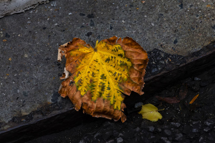 Fallen Leaf Autumn Leaf Fallen Leaf Beauty In Nature Fall Leaf Leaf Nature