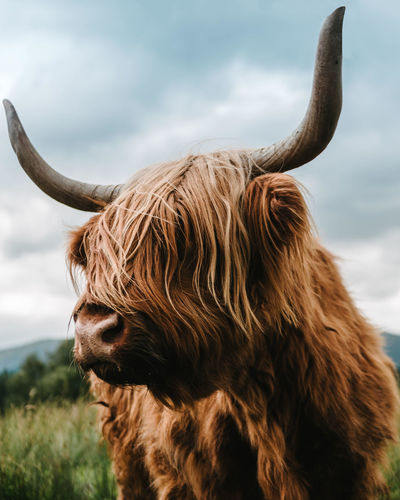 Close-Up Of Highland Cattle On Field Against Sky