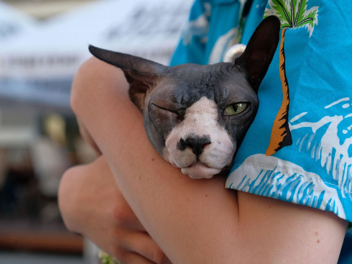 A sphinx cat is in the hands of the owner. gray and white, one eye squinted. muzzle close-up.