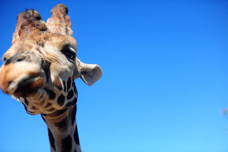 Low angle view of giraffe against blue sky