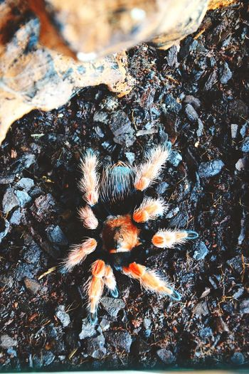 Spider Brachypelma Boehmei Pet Portraits