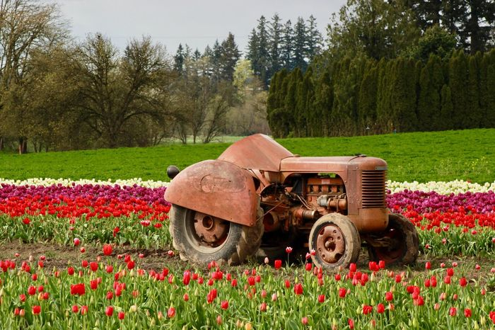 Farm Equipment Trees Old Tractor Tulips Tulip Fields Red Tractor EyeEm Selects Plant Nature Land Vehicle Transportation Field Flowering Plant Flower Rural Scene Agricultural Machinery Agricultural Equipment Agriculture Tractor Landscape Mode Of Transportation Red
