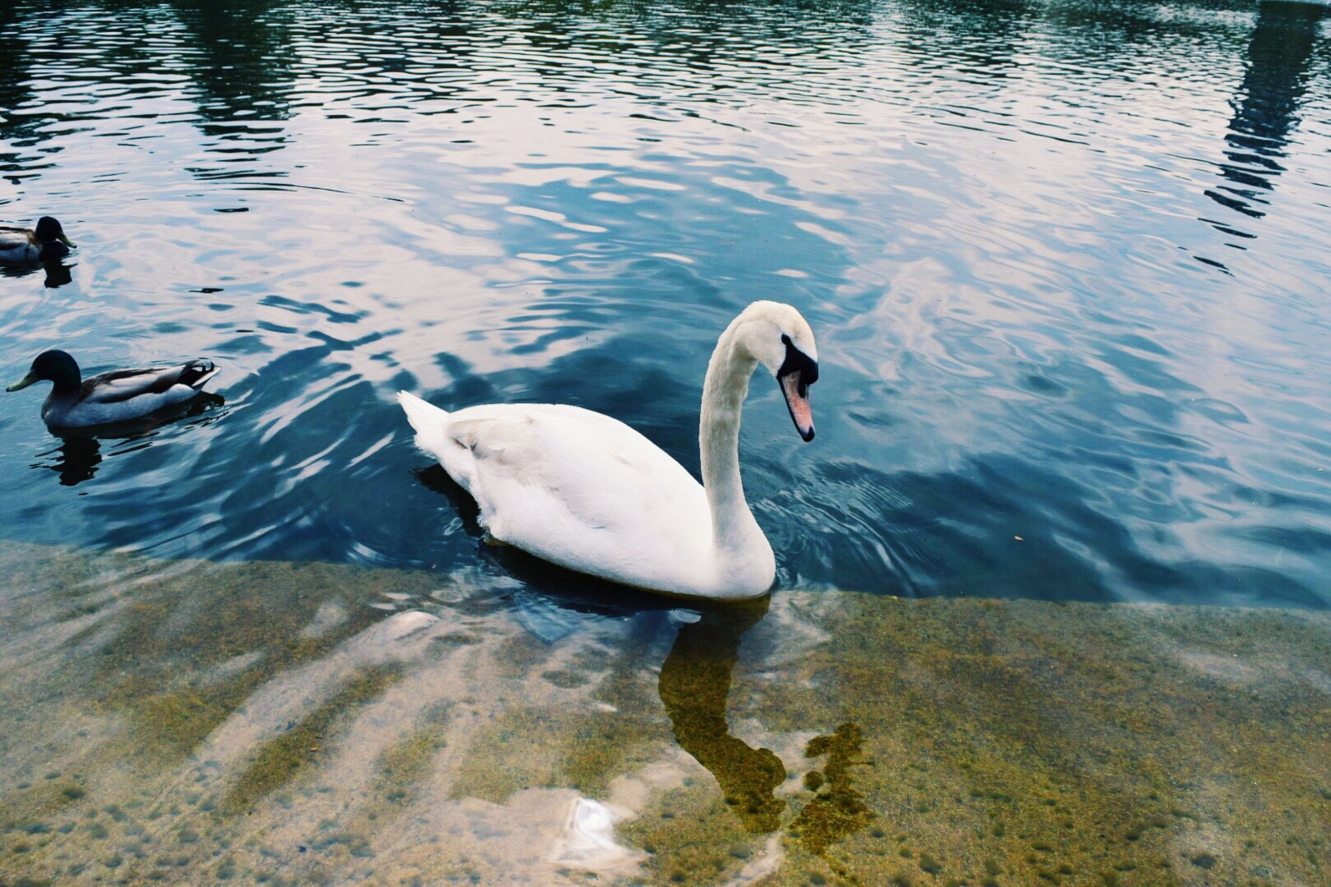 bird, animal themes, water, animals in the wild, wildlife, lake, swimming, swan, water bird, waterfront, rippled, reflection, duck, nature, two animals, high angle view, floating on water, outdoors, no people, togetherness