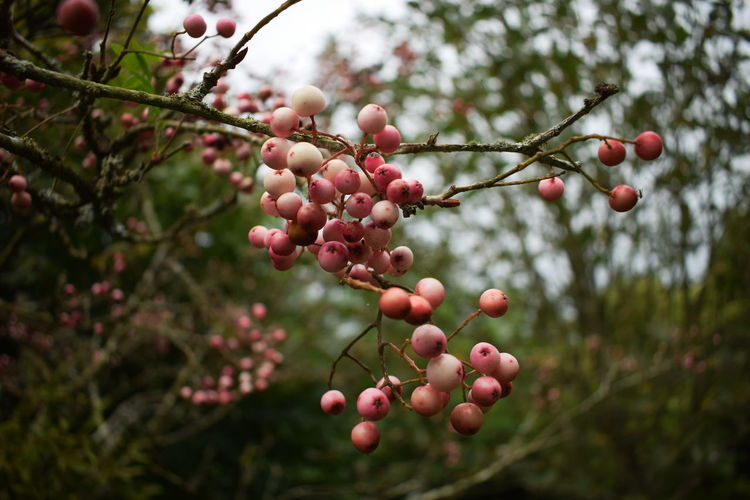 Close-up of rowanberry on tree branch