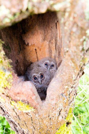 Tawny Owl Owl Pollarded Trees