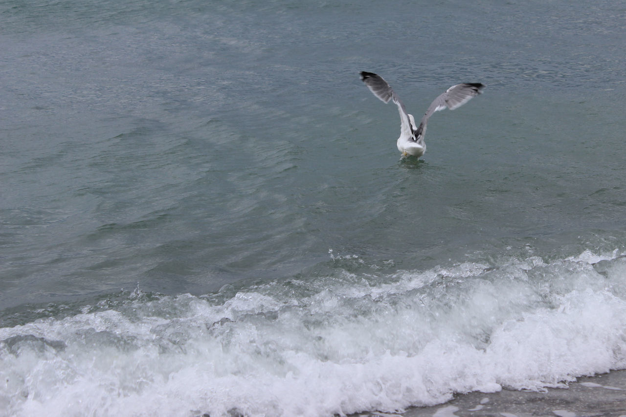 water, motion, sea, animals in the wild, animal themes, animal, vertebrate, animal wildlife, spread wings, bird, one animal, no people, day, flying, waterfront, splashing, nature, wave, outdoors, seagull, flapping, marine, power in nature