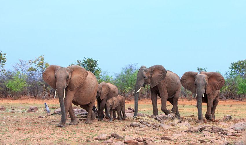 Elephant Group Of Animals Animal Themes Animal Mammal Animals In The Wild Animal Wildlife No People Nature Animal Family Clear Sky Land Safari African Elephant Herd Matusadona National Park Animals In The Wild