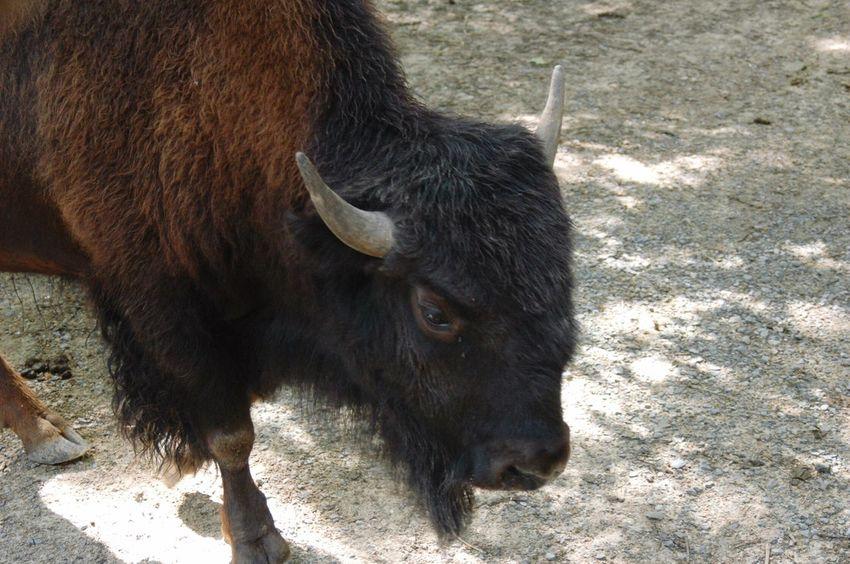 Buffalo Wildlife Safari Zoo Furry Brown BIG