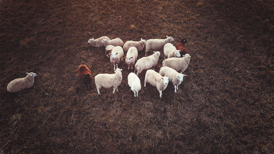 - THE FIELD - Drone  DJIxEyeEm Drone Photography Check This Out Animal Themes Animal Group Of Animals Livestock Domestic Mammal Domestic Animals Pets Sheep Vertebrate Land Field High Angle View Large Group Of Animals Nature Agriculture No People Animal Wildlife Day Animals In The Wild Autumn Mood