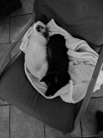 Joy and Angel <3 Cat Mycat Siamese Siamesecats Sphynx Devonrex Cats Blackandwhite
