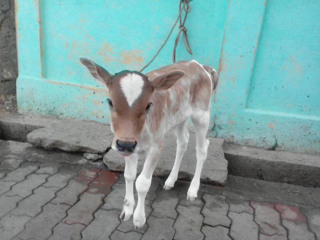 My calf Calf Animal Close-up Cow Indian Calf Indian Cow Tamilnadu