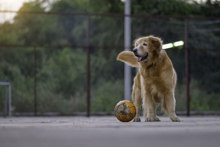Dog looking away on ball