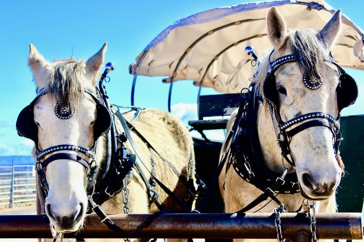 Grand Canyon Animal Themes Blue Sky Brown Carriage Carriage Horse Close Up Horse Close-up Day Domestic Animals Horse Mammal No People Outdoors White Background