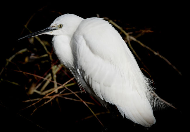 This egret came within about 10 feet of me and was watching me closely. It was one of those special moments when I was alone and completely immersed in nature. Taken at Lackford Lakes, Suffolk, UK, November 2017 Bird Photography Birds Of EyeEm  Black Background Egret Perching Egrets Low Key Bird Bird Watching Birds Birds_collection Egret Lakeside Low Key Lighting Low Key Photography Perching Water Bird Water Bird Close-up Water Bird Collection White Color Wild Bird Wild Bird Collection