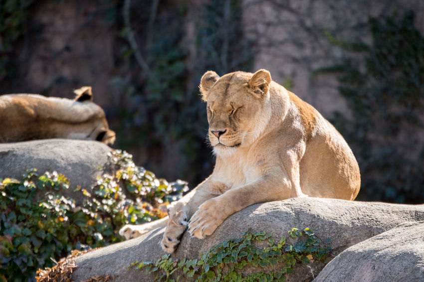 ©Amy Boyle Photography Zoo Animal Themes Animal Wildlife Animals In The Wild Day Lion - Feline Lioness Mammal Nature No People One Animal Outdoors Relaxation Rock - Object