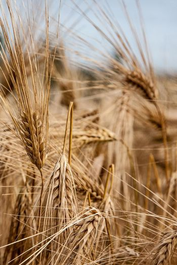 Close-up of dried wheat on farm