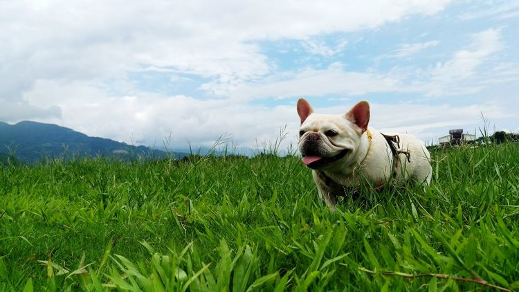 Starting A Trip Vacation Time Snapshots Of Life Frenchbulldog Cute Pets Dog Love Pets Corner Green Grass Landscape Share Your Adventure