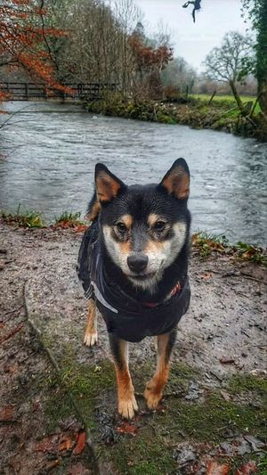 Lake Lakeview River WoodLand Woods Dogwalk Shiba Inu Dogs Of EyeEm Puppy Shiba Inu LOVE Bowtie Black And Tan Respryn Pets Portrait Water Dog Looking At Camera German Shepherd Full Length Animal Themes Purebred Dog Canine