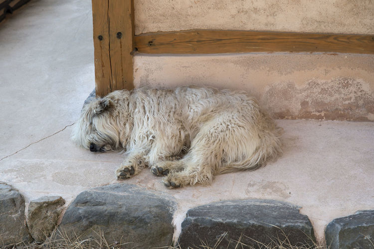 High angle view of hairy dog sleeping on passage at buddhist temple