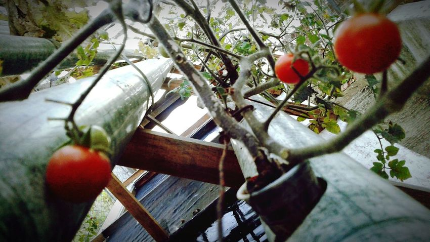 Hanging Branch Fruit Tree Red Food And Drink Outdoors No People Food Day Nature Close-up