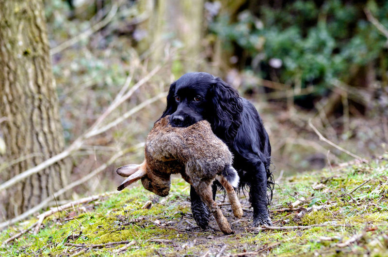 Animal Themes Cocker Spaniel  Front View Gundogs One Animal Outdoors Outdoors Photograpghy  Shooting Day Working Dogs