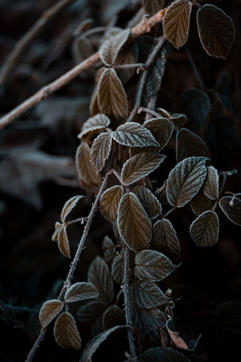 Close-up of dry leaves on plant
