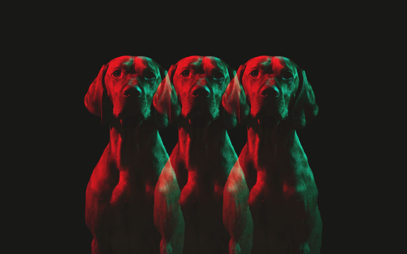 Studio shoot of Vizsla dog with colored light Green Looking At Camera Multiple Exposures Red Vizsla Animal Themes Black Background Close-up Colored Lights Hunting Dog Mammal Multi Colored Multicolors  No People Pets Red Spooky Studio Shot Three Dogs