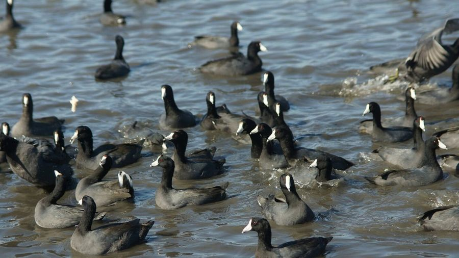 High angle view of coots swimming in lake