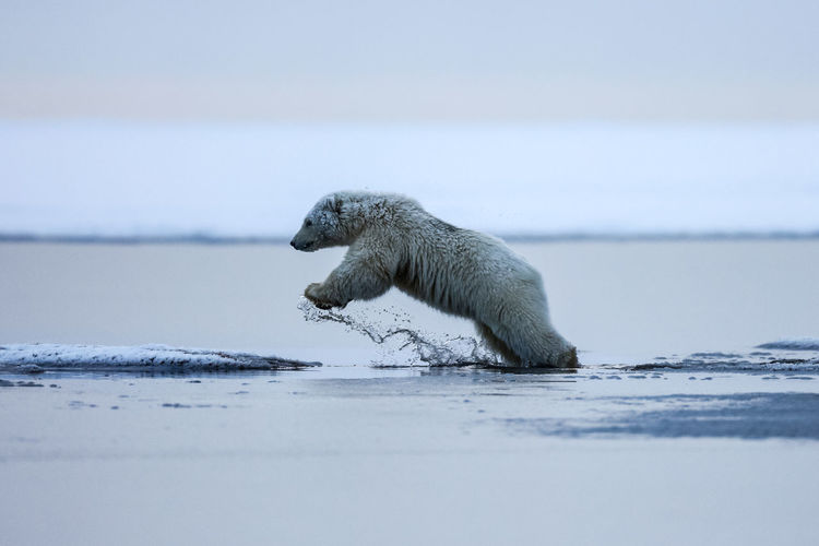 Side view of polar bear jumping in water