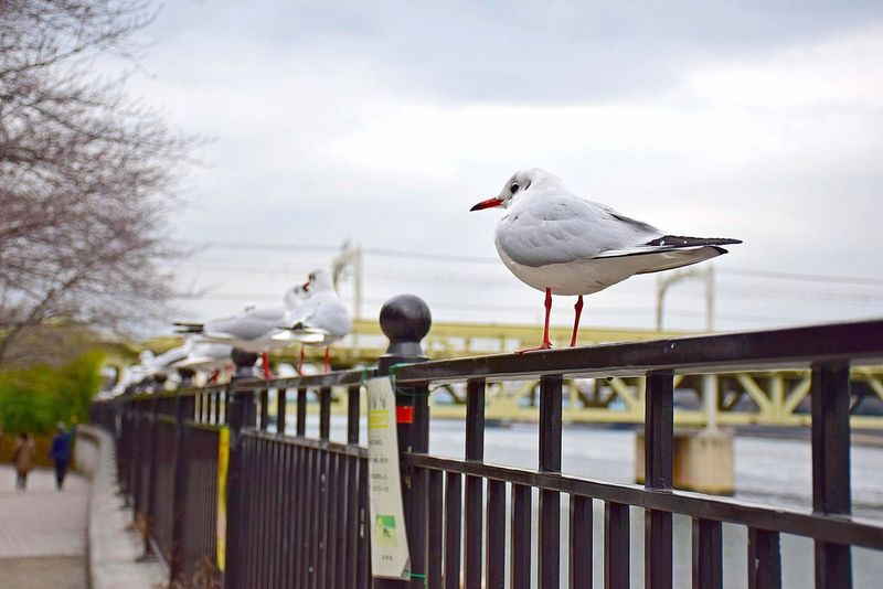 Bird Animal Themes Railing Animals In The Wild Perching White Color Seagull Animal Wildlife Nature Day Focus On Foreground Outdoors Sky No People Beauty In Nature Spread Wings Japan Vacations Nofilter Bird Watching Sumidariver Sumida Landscape Balcony Winter