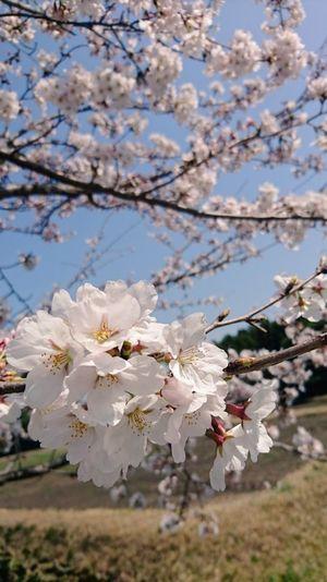 🌸🌸 Springtime Cherry Blossom So Nice