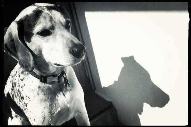 Chillin' on a sunny Sunday afternoon. Literally. Dog Pets Domestic Animals Mammal Animal Themes One Animal No People Close-up Portrait Day Blackandwhite Shootermag Hipstamatic Shadow The Portraitist - 2017 EyeEm Awards