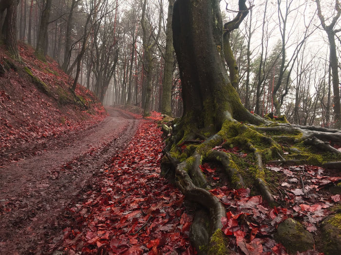 Tree Plant Land Nature Beauty In Nature Forest Autumn Leaf The Way Forward Change Leaves Outdoors WoodLand No People NewEyeEmPhotographer Photoshop Pfalz Pfälzerwald Herbst Winter Blätter Wald Rot Red Autumn Mood My Best Photo