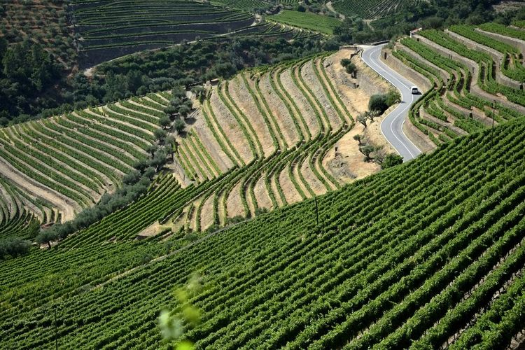 High angle view of terraced vineyard