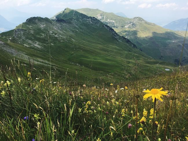 Beauty In Nature Mountain Plant Flowering Plant Flower Growth Nature Environment Tranquility Landscape Scenics - Nature Tranquil Scene Day Mountain Range No People Yellow Freshness Green Color