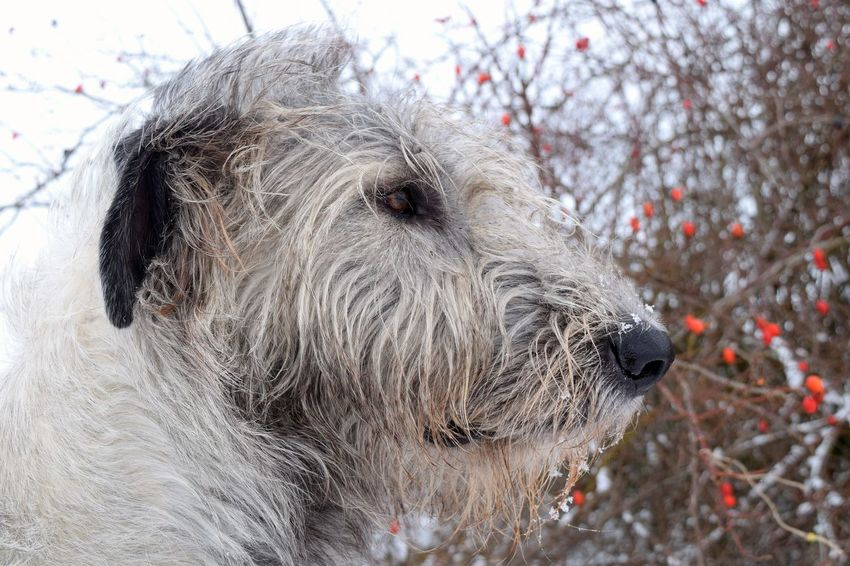 One Animal Animal Themes Outdoors Animal Head  The Places I've Been Today Dogs Of Winter Dogwalk Dog Of The Day Dogs Of EyeEm Dogslife Irish Wolfhound Cearnaigh Portrait Close-up How Is The Weather Today? Winter 2017 January 2017 It Is Cold Outside Hagebutten Bokeh Animal Head