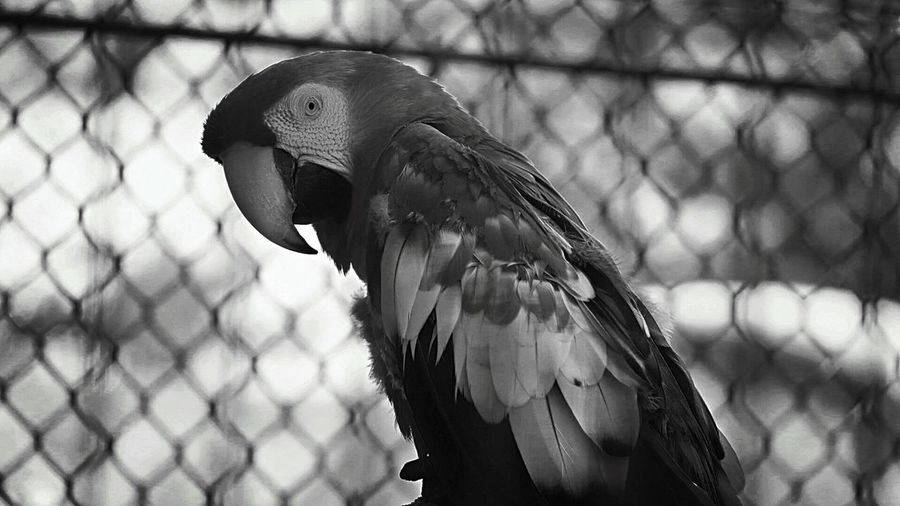 Close-Up Of Macaw In Cage