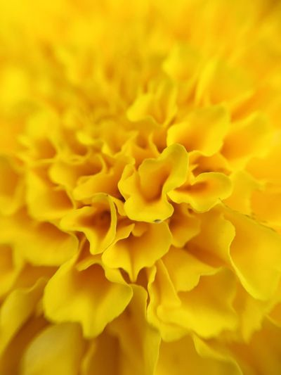 Yellow Flower Fragility Freshness Full Frame Close-up Backgrounds Beauty In Nature Nature No People Petal Flower Head Day Outdoors Dahlia