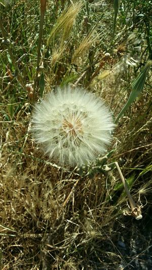 Close-up of white dandelion