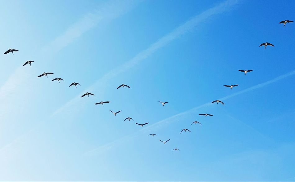 Gooses Gooses In Flight Formationofbird Formation Flying Formation Of Nature Blue Sky