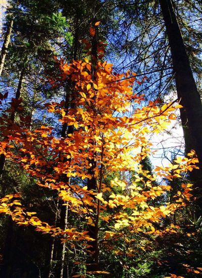 Tree Autumn Beauty In Nature Forest Orange Color Leaf Tranquil Scene Automne🍁🍂🍃 Forest Photography Canada Nature