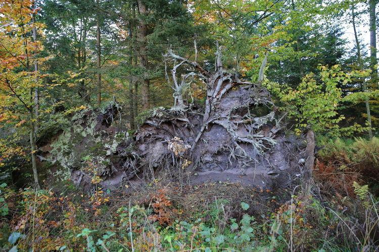 Wurzel Wald