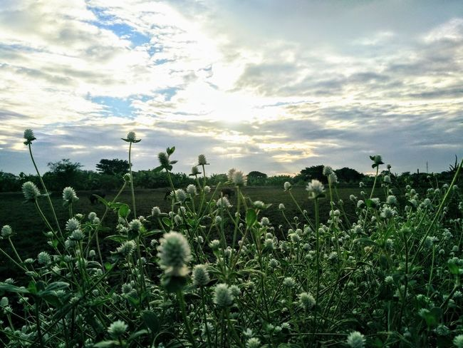 Agriculture Beauty In Nature Day Field Growth Landscape Nature No People Outdoors Plant Sky