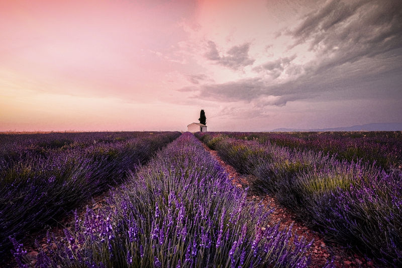 Pink sky over valensole lavender field