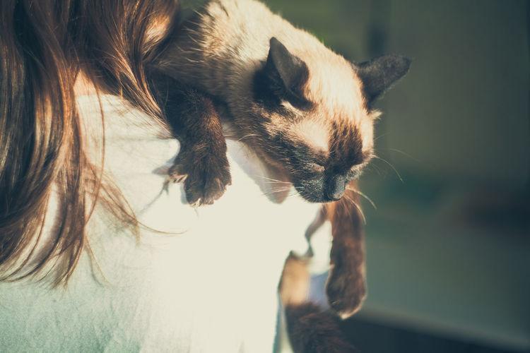 Close-up of a siamese cat