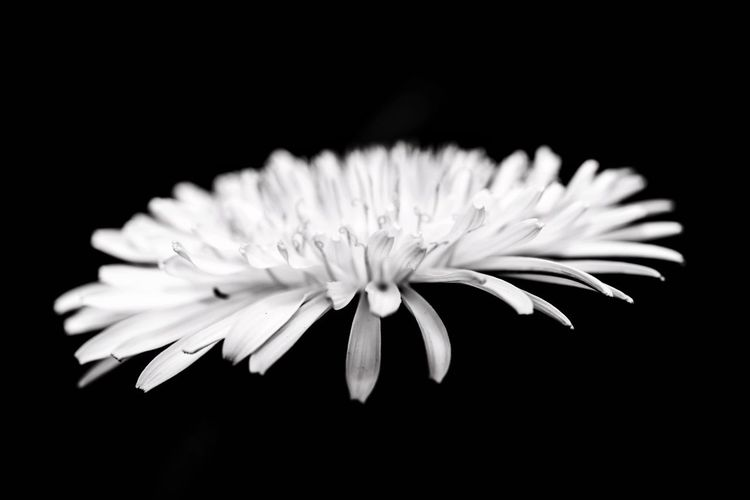 Black and white Nikon Nikonphotography Blackwhite Blackandwhite EyeEm Masterclass Macro Macro_collection Macro Beauty Flower Flowering Plant Plant Freshness Beauty In Nature Fragility Close-up Vulnerability  Petal Black Background Inflorescence Flower Head Studio Shot Growth Nature No People White Color Indoors  Botany Pollen